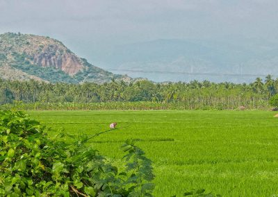 Near Madurai Paddy field worker 2